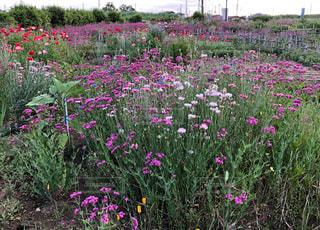 春,花畑,ピンク,緑,草,広場,広い