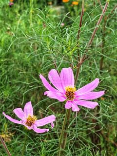 秋,ピンク,緑,コスモス,花びら,秋桜,二輪,桃色,花弁,こすもす