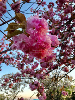 春,桜,木,ピンク,青空,枝,葉,鮮やか,満開,八重桜,華やか,桃色,重なる