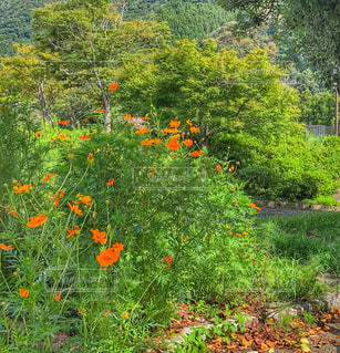 自然,森,緑,コスモス,山,秋桜,オレンジ色,野山,黄花コスモス,こすもす