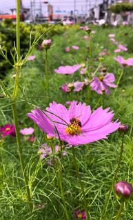 コスモス,蜂,秋桜,ハチ,可憐,花弁,秋風,花粉,蜜