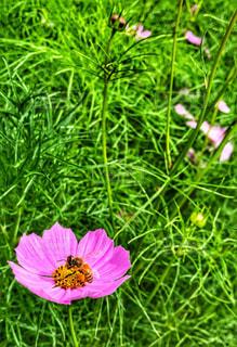 ピンク,コスモス,蜂,秋桜,ハチ,秋風,花粉,蜜
