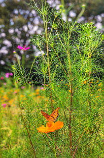 コスモス,黄色,蝶々,秋桜,オレンジ色,タテハチョウ,秋空,緑色,黄花コスモス,こすもす