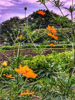 オレンジ色の花の写真・画像素材[1465308]