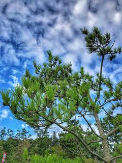 木,緑,雲,青空,青,松ぼっくり,松,秋空,まつぼっくり,松笠,空の日