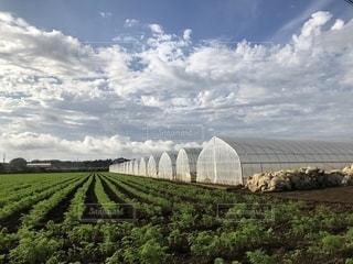緑,雲,青空,人参,農業,畑,広い,ポジティブ,作物,茨城県,ビニールハウス