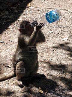 猿,水,影,ペットボトル,ごはん,ドリンク,インド,日当たり