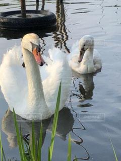 鳥,水,水辺,白い,2,湖沼,ホワイトカラー