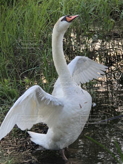 背伸び,白い,白鳥,優雅,羽ばたく,湖沼,ホワイトカラー