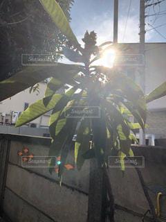 庭,太陽,光,逆光,無加工,輝く,びわ,枇杷の木,ホワイトカラー