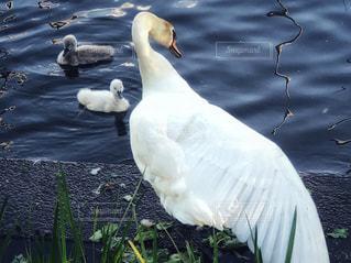 白,親子,水辺,旅行,白鳥,ホワイト,鳥類,水鳥,ヒナ,湖沼