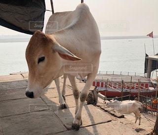 白,ボート,牛,船,川,アジア,目,見つめる,大河,ホワイトカラー