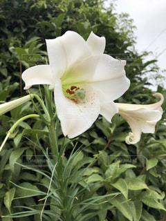 植物,白い,可憐,ユリ,ホワイトカラー,白百合