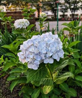 公園,植物,ベンチ,白い,紫陽花,鉄棒,開花,ホワイトカラー