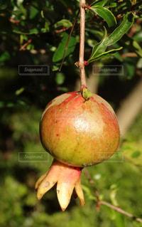 赤いリンゴの写真・画像素材[1782869]