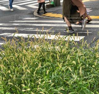 横断歩道の写真・画像素材[1812813]