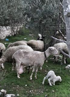 動物,親子,羊,牧草地,旅行,山羊,海外旅行,出産,中東,子育て,子ヤギ,複数,産まれたて,フォトジェニック,多色