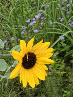 花,夏,緑,ひまわり,黄色,満開,向日葵,旅行,インスタ,横向き,フォトジェニック,多色