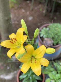 花,庭,黄色,6月,思い出,父,ゆり,好み,インスタ,フォトジェニック,百合の花,多色