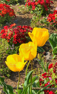 花,緑,赤,黄色,チューリップ,遊園地,旅行,花壇,地面,三兄弟,埼玉県,インスタ,三輪,三姉妹,フォトジェニック,3つ,多色