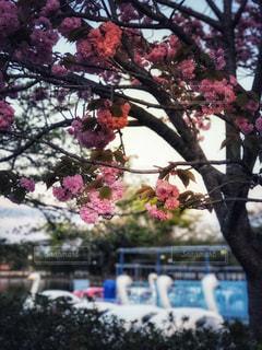 公園,桜,木,ピンク,ボート,水辺,池,お花見,旅行,スワン,白鳥,幹,フォトジェニック