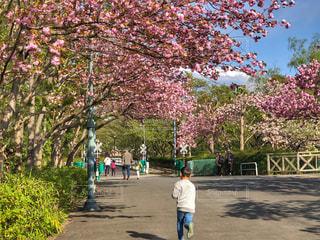 公園,春,桜,木,ピンク,季節,影,子供,走る,楽しい,お花見,遊園地,旅行,人々,歩道,フォトジェニック,日なた