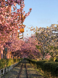 桜,ピンク,線路,お花見,遊園地,旅行,並木,アトラクション,フォトジェニック,多色