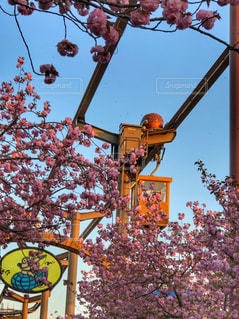 春,ピンク,満開,楽しい,お花見,遊園地,旅行,八重桜,アトラクション,タコ,埼玉県,フォトジェニック,多色