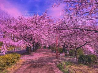 ピンクの花の木の写真・画像素材[1832281]
