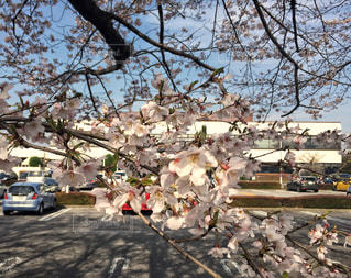 建物,桜,ビル,ピンク,車,駐車場,満開,お花見,旅行,薄桃色,ソメイヨシノ,フォトジェニック