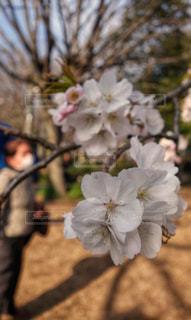 桜,木,ピンク,影,光,満開,お花見,旅行,アップ,東京都,午後,薄桃色,インスタ,フォトジェニック,控えめ
