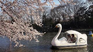 乗り物,桜,お花見,旅行,スワン,白鳥,東京都,インスタ,フォトジェニック,ボート池,都立公園