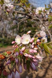 春,桜,ピンク,綺麗,葉,木々,美しい,つぼみ,お花見,旅行,日本,東京都,蕾,インスタ,フォトジェニック,桜木,多色