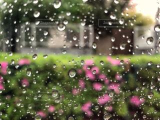 ピンク,水滴,ガラス,植木,雨天,ツツジ,しずく,街路樹,車窓から,フォトジェニック,雨模様,多色,新元号,令和,令和元年,5月1日,2019.5.1