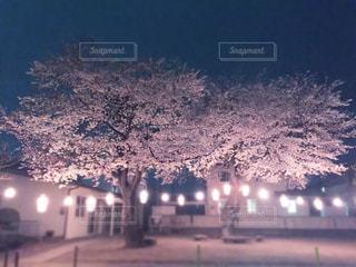 花,春,桜,夜桜,樹木