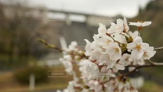 風景,花,春,桜,屋外,日中