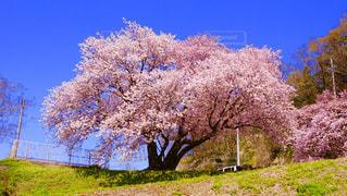 風景,空,花,春,桜,屋外,日中