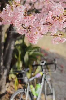 桜,屋外,樹木,お花見,お台場,サイクリング,2018年春