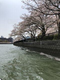 桜,大阪,ピンク,綺麗,川,可愛い,中之島