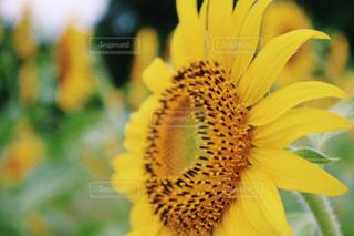 花,ひまわり,黄色,向日葵,ひまわり畑,山形,草木,山形県