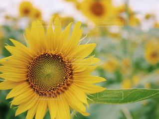 花,ひまわり,黄色,向日葵,ひまわり畑,山形県