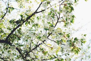 葉桜の写真・画像素材[1129974]