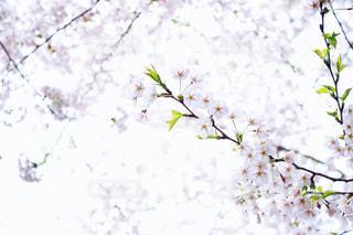 花,桜,ピンク,青森県,草木,さくら