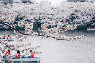 ボートでお花見の写真・画像素材[1145813]