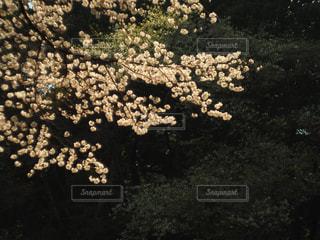 公園,桜,屋外,晴れ,樹木,昼,東京都,新宿,新宿御苑,お出かけ,Spring,さくら