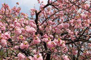 春,桜,サクラ,大阪造幣局サクラの通りぬけ,桜の通りぬけ