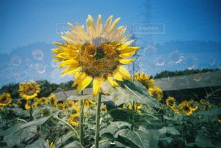 空,夏,ひまわり,フィルム,ひまわり畑,多重露光,フィルムカメラ,お出かけ,フィルム写真,フィルムフォト