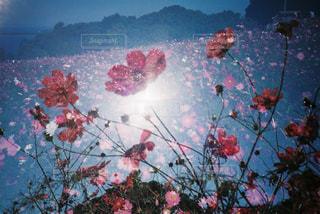 コスモス,秋桜,フィルム,多重露光,フィルムカメラ,フィルム写真,フィルムフォト