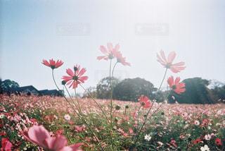 コスモス,秋桜,フィルム,フィルムカメラ,フィルム写真,フィルムフォト