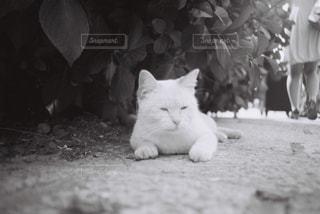 猫の白黒写真の写真・画像素材[2909117]